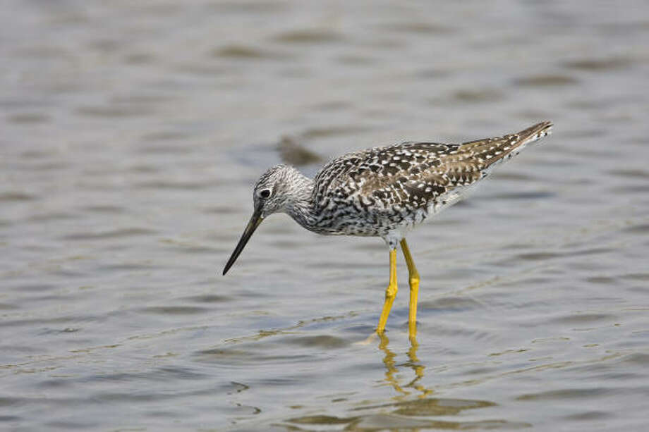 Shorebirds, like this greater yellowlegs, will be arriving soon in Texas on their fall migration. Photo: Kathy Adams Clark