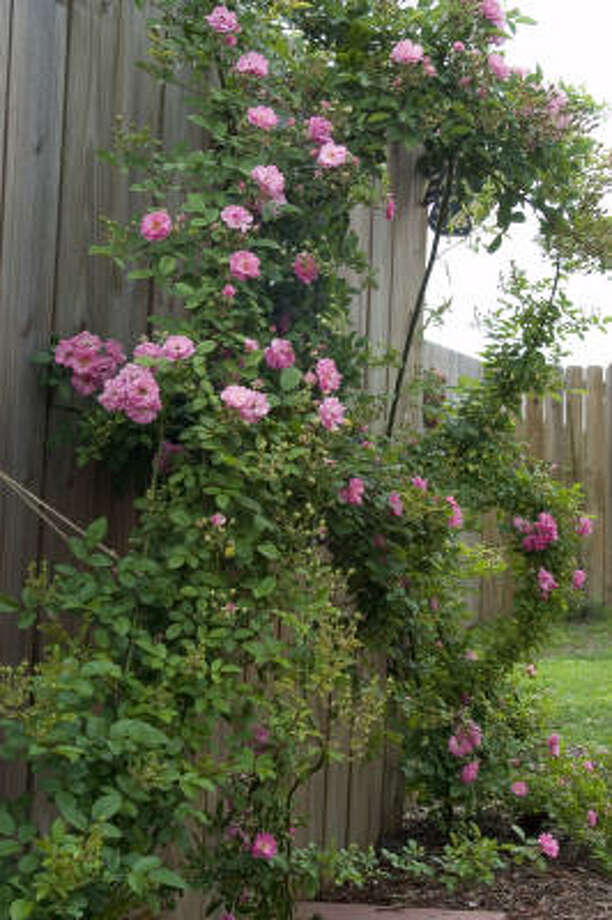 'Peggy Martin' climbing rose Photo: Megan Thompson, For The Chronicle