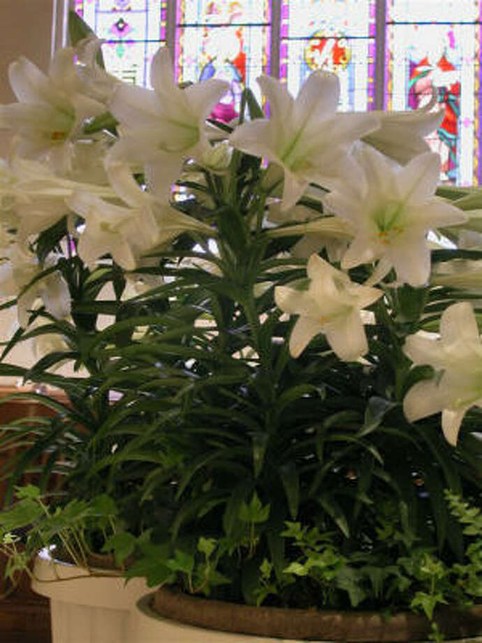 """Elegant lilies, sometimes called """"white robed apostles of hope,"""" are said to have appeared where drops of Christ's sweat fell to the ground in his final hours of sorrow. Photo: Easter Lily Research Foundation"""