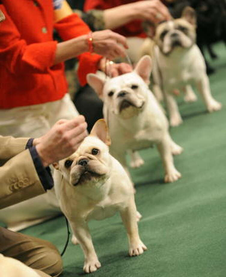 French bulldogs competing in the show ring weigh no more than 28 pounds, much smaller than their American and English counterparts. Photo: TIMOTHY A. CLARY, AFP/Getty Images