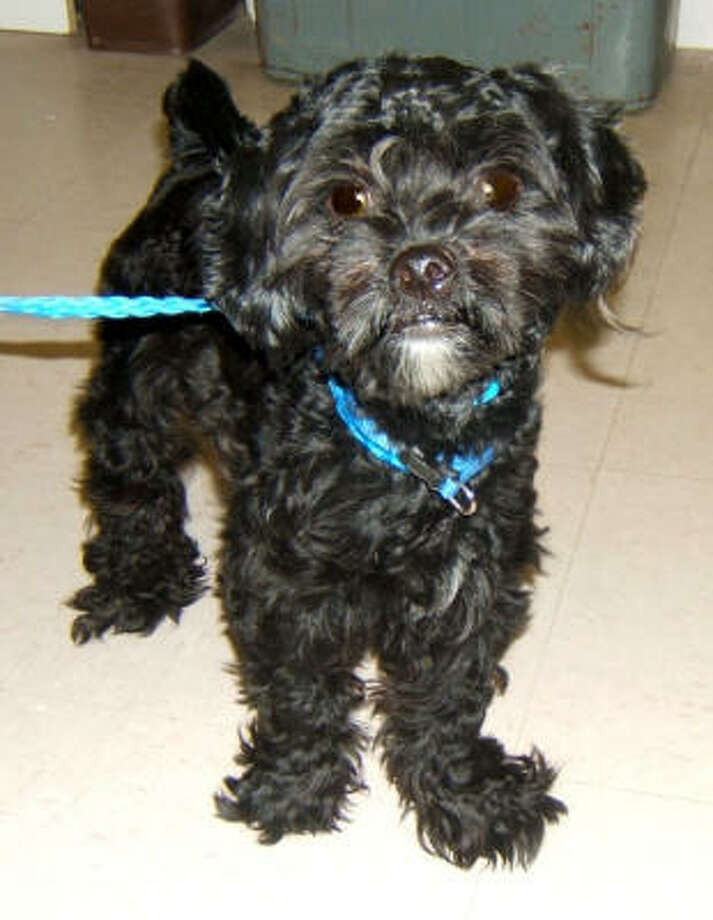 Rex, a shih tzu and poodle mix available for adoption at Citizens for Animal Protection. Photo: Citizens For Animal Protection