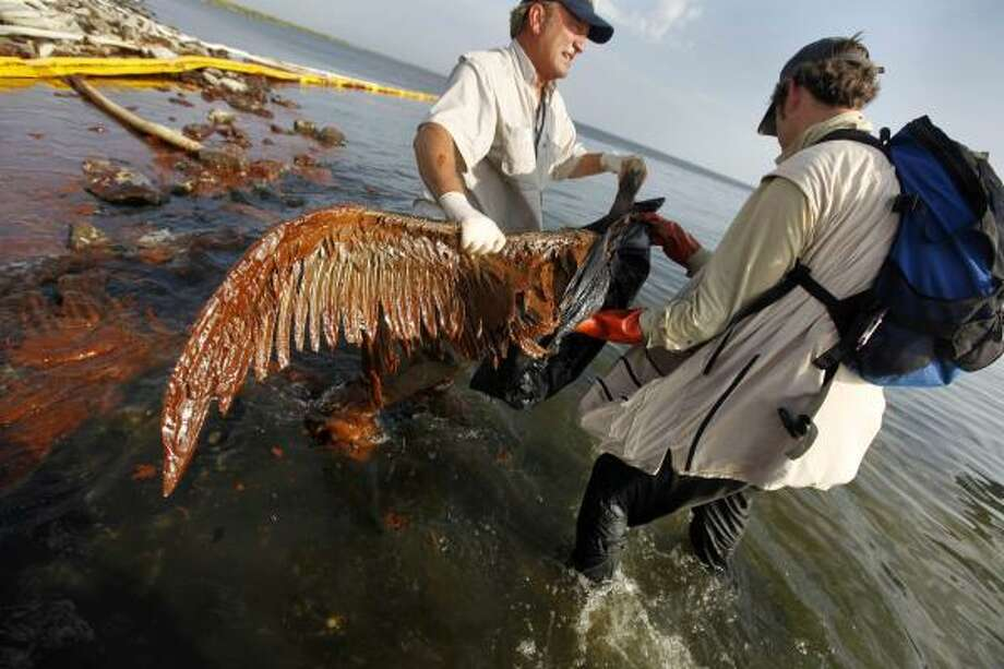 Plaquemines Parish coastal zone director P.J. Hahn lifts an oil-covered pelican that was stuck in oil at Queen Bess Island in Barataria Bay, just off the Gulf of Mexico in Plaquemines Parish, La., on Saturday. Photo: Gerald Herbert, AP