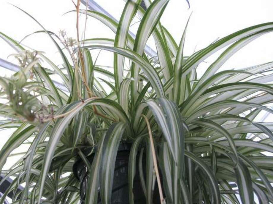 Spider plant in a hanging basket. Photo: Lee Reigh, AP