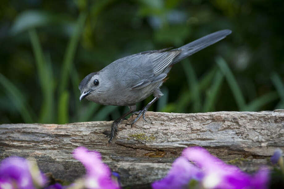 Gray catbirds are in the mimic family of birds. They sound like a gravelly voiced cat and can be found this summer in the eastern part of the state. Photo: Kathy Adams Clark