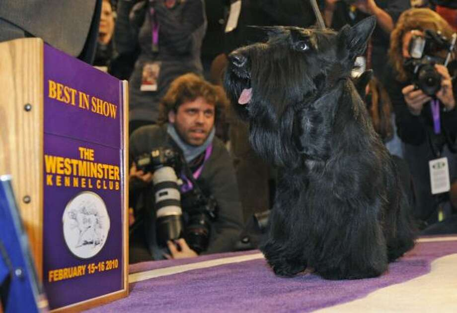 Sadie, a 4-year-old Scottish terrier, strikes a winning pose after being crowned Best in show Tuesday night at the 134th Westminster Kennel Club Dog Show in New York City. Photo: Henny Ray Abrams, Associated Press