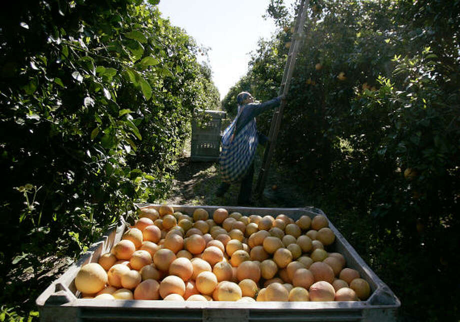 Efren Vite moves to a new spot as he collects Real Red Grapefruits last weekend north of Edinburg. in the Rio Grande Valley. The season's cold weather didn't damage the area's citrus crop and helped other fruits that need low temperatures. Photo: Gabe Hernandez