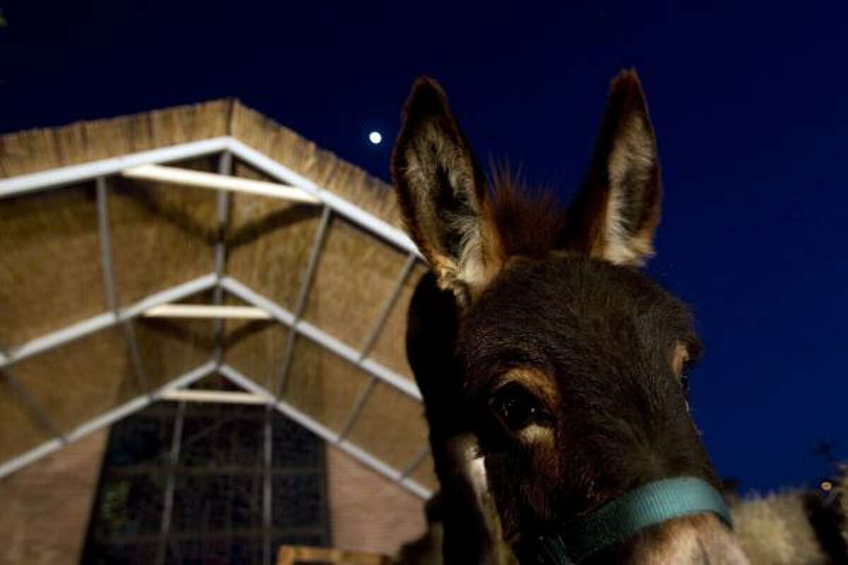 A donkey awaits the arrival of Mary, Joseph and baby Jesus during a living nativity scene at St. Luke's Presbyterian Church. The event told the story of Jesus' birth accompanied with music, cookies and hot coco at the community church.