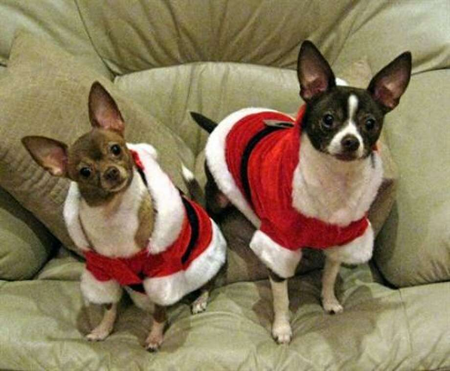 "Khloe and Toby ""Juan"" Kenobe, as little Christmas elves. Share your pet photos. Photo: Clutchcity, PetsHouston"