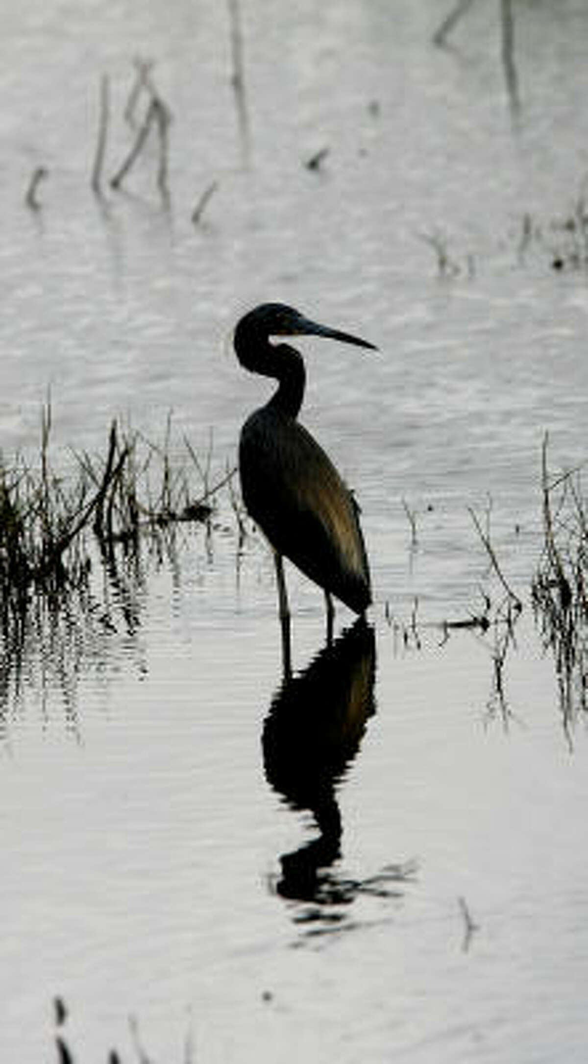 In a scene captured in 2008 at Anahuac National Refuge, a tricolored heron pauses in its search for food.
