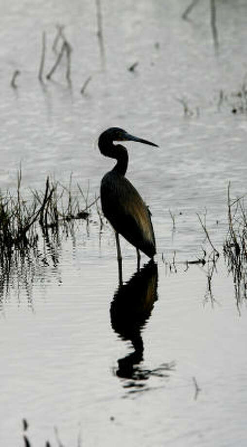 In a scene captured in 2008 at Anahuac National Refuge, a tricolored heron pauses in its search for food. Photo: Scott Clark, Chronicle