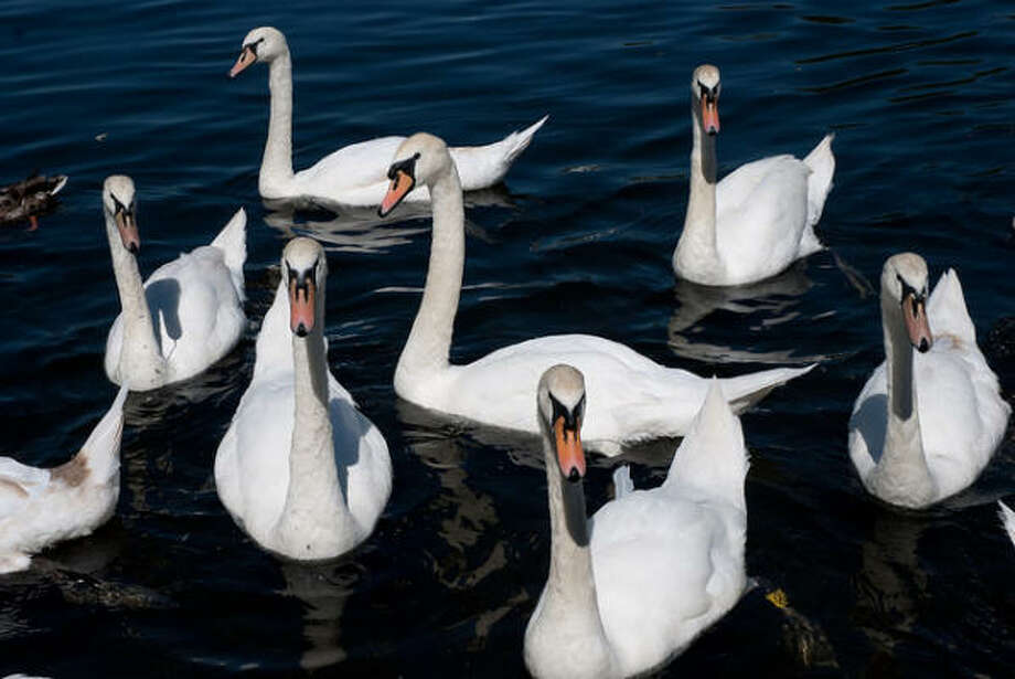 7 swans-a-swimming: $13,125 — no change. Photo: Thom Quine, Flickr Creative Commons