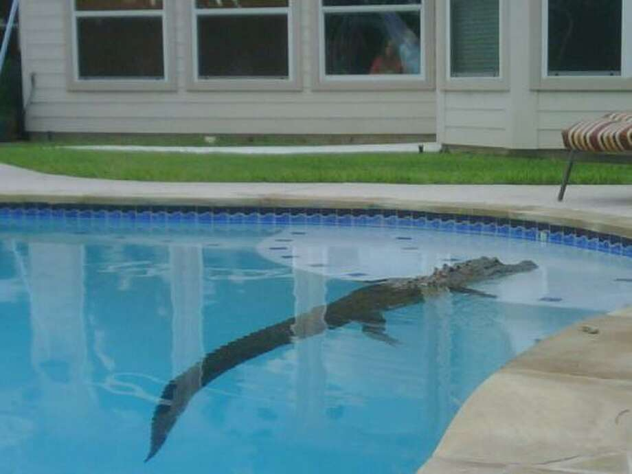 A gator was discovered Saturday morning in Jodie Morris' Missouri City pool. Already this season in Harris County, officials have logged more than 25 calls about nuisance alligators. Photo: Jodie Morris