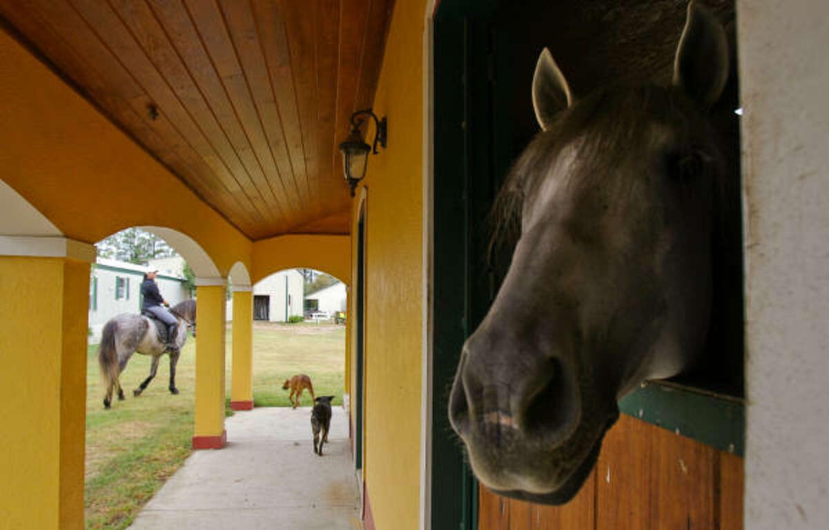 Uno de los caballos de pura raza española de WEC asoma la cabeza en los establos de Tomball.