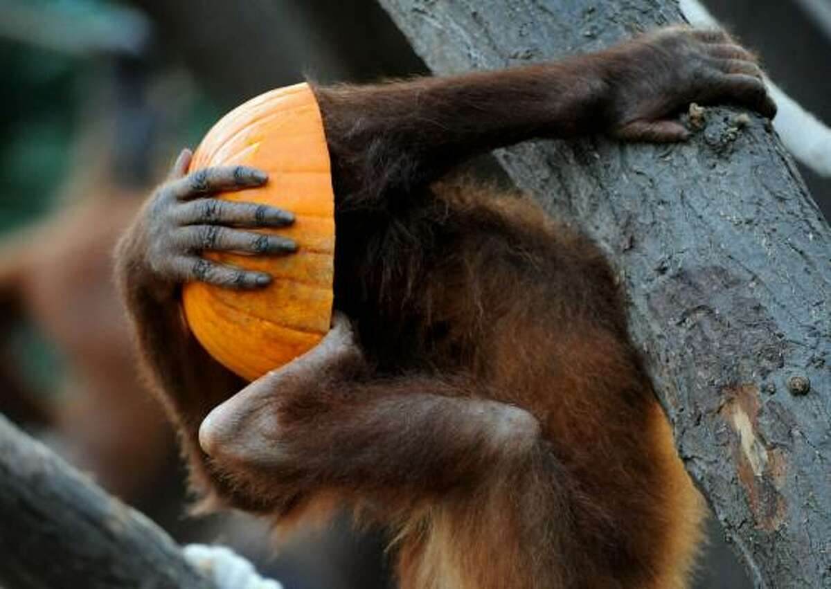 An orangutan devours a pumkin in his enclosure in the animal park Hagenbeck in Hamburg, northern Germany. The monkeys of the zoo are being served pumkin just in time for Halloween.