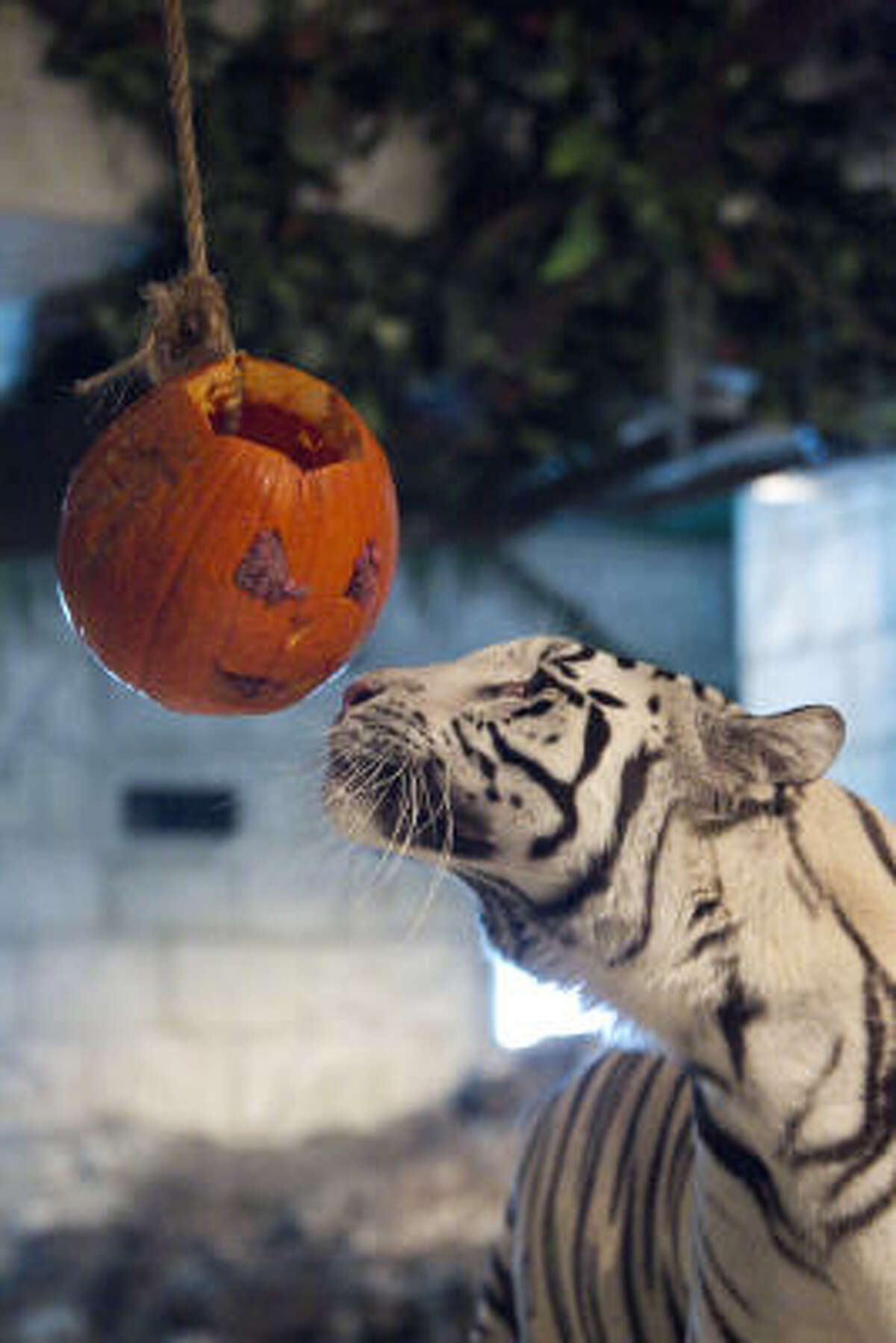 Reef a male white tiger looks to smash a pumpkin filled with meat during the Downtown Aquarium's annual Smash the Squash in Houston. The audience got learn about the enrichment programs the aquarium has for the tigers as they watched the tigers play with their jack-o-lanterns.