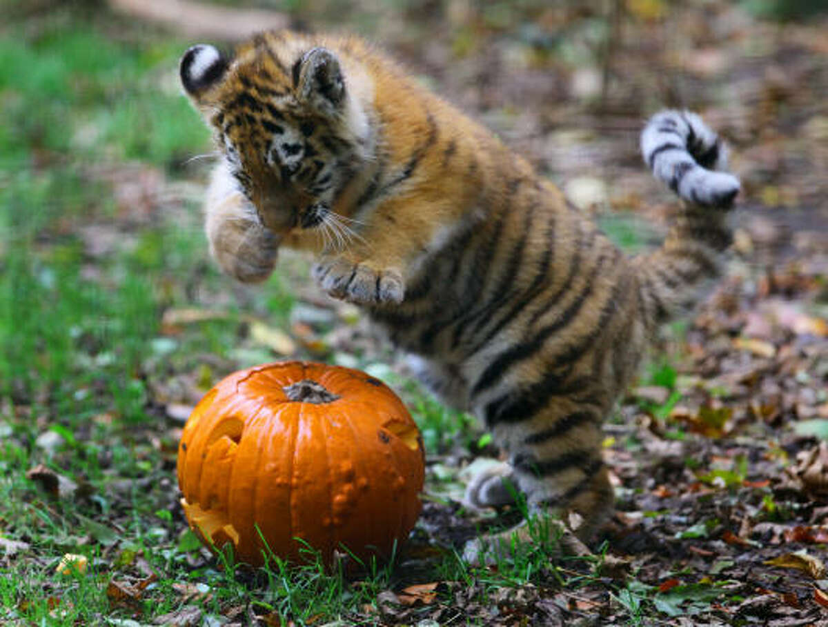 Rosa, a 4-month-old Siberian tiger cub, pounces on a pumpkin at Port Lympne Wild Animal Park southern England.