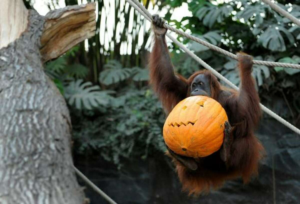 An orangutan takes off with a Halloween treat in his enclosure in the zoo of Hamburg, Germany.
