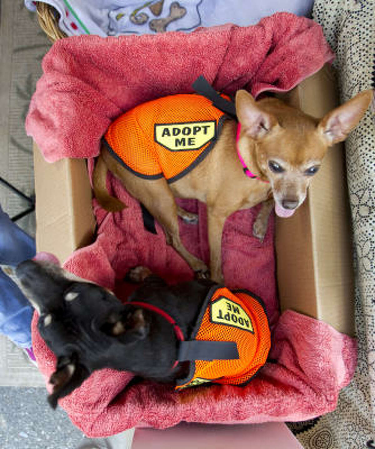 Taz and Sophie sit in a box at the Pure Mutts Animal Sanctuary booth during PetFest 2010 in Spring.