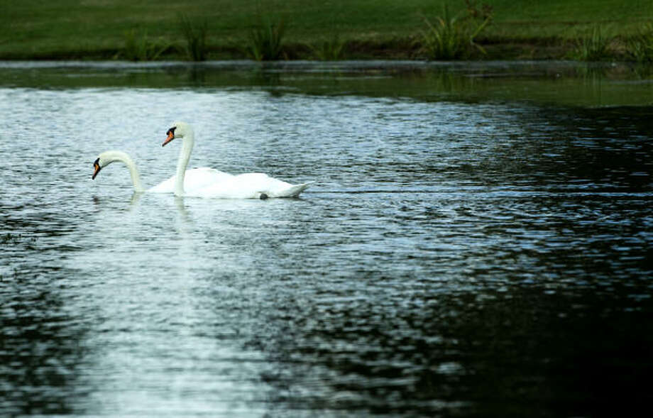 A pair of swans swim together across the water hazard on the 17th fairway during The Woodlands Development Company Junior Pro-Am on Tuesday. Photo: Brett Coomer, Houston Chronicle