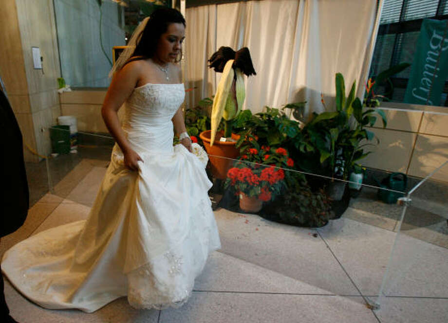 Jocelyn Salinas, 19, of Clute, prepares to walk down the aisle near the stinky, wilting corpse flower at Cockrell Butterfly Center at the Houston Museum of Natural Science on Sunday. Photo: Julio Cortez, Chronicle