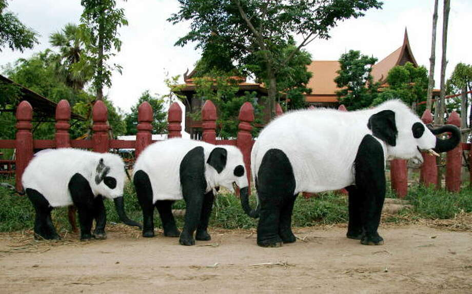 Handout photo shows elephants painted in black and white as they are paraded at the Ayutthaya elephant camp, north of Bangkok, to commemorate the birth of a panda cub at the Chiang Mai zoo after years of artificial insemination and efforts to get its celibate parents to mate, triggering a national craze for the animals. Photo: AFP, AFP/Getty Images