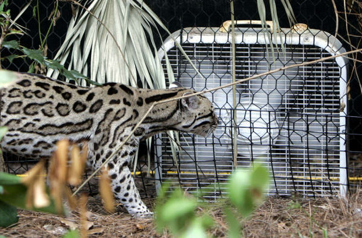 An ocelot stands in front of a box fan looking for some relief from the heat in his Tallahassee Museum of History and Natural Science guest animal habitat in Tallahassee, Fla. Temperatures in the area are predicted to reach 100 degrees for the eighth day in a row, prompting animal curators at the museum to place fans around the habitat to provide relief from the heat.
