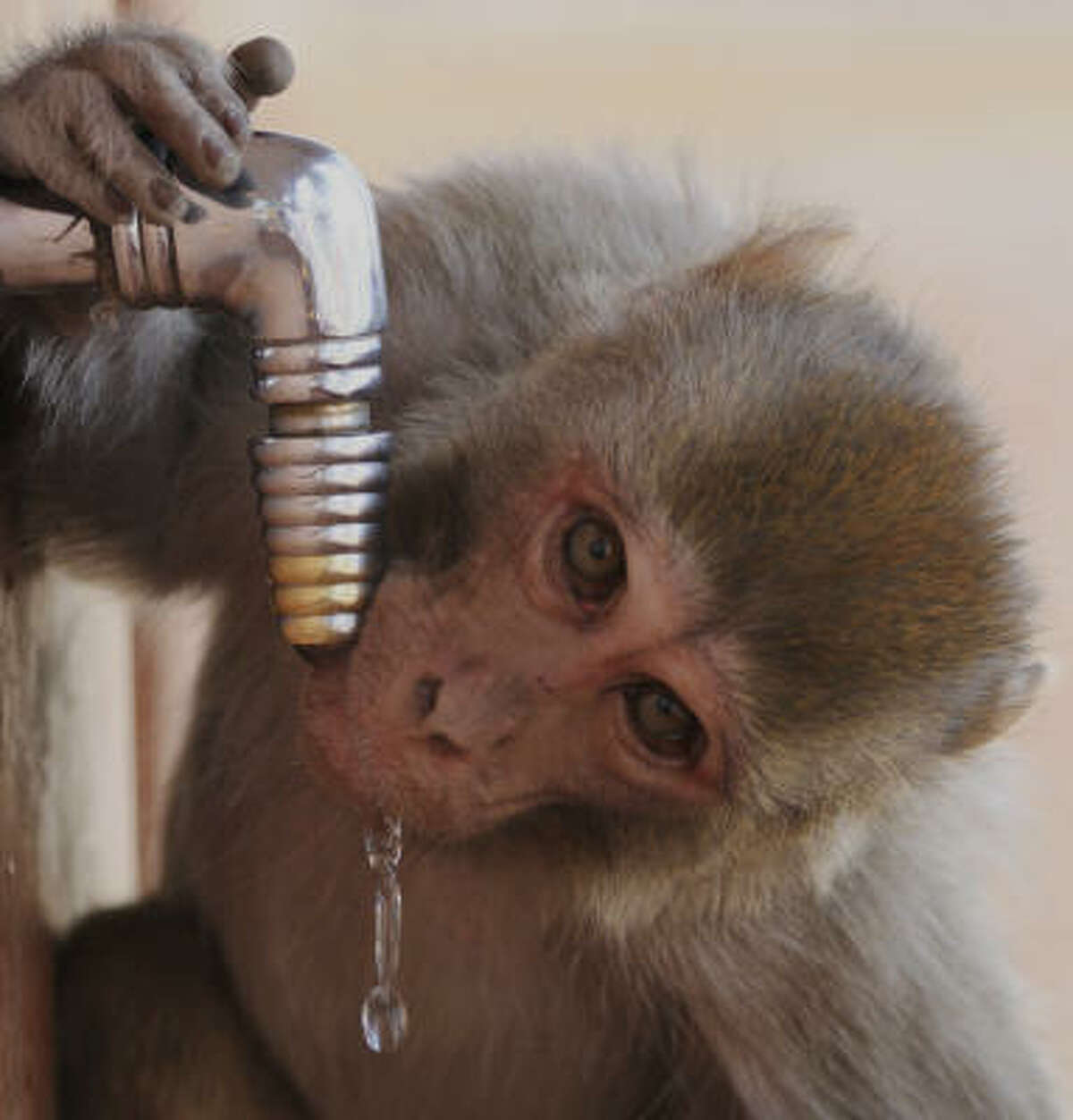 A monkey drinks water from a wayside tap on a hot summer afternoon in Shimla, India. India's monsoon rainfall, the main source of irrigation for the country's 235 million farmers, may be below normal this year, the government said.