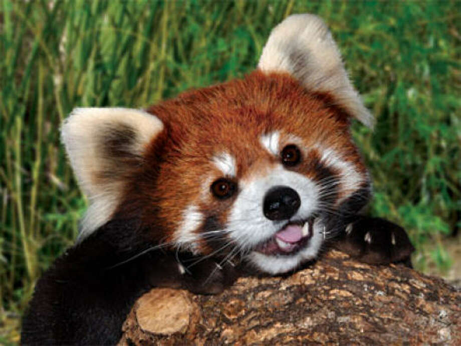Toby the Red Panda, the newest resident of the Houston Zoo. Photo: Houston Zoo