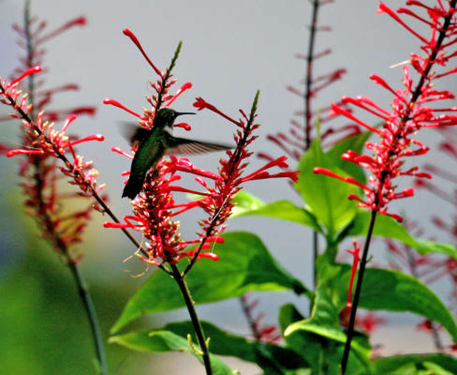 Hummingbird and firespike.  Lazy Gardener: How to keep 2009's multitude of hummingbirds in your yard | 10 nectar plants that hummingbirds love | More hummer photos | Hummingbirds in the archives | Submit your garden photos | Houston Plant Database | HoustonGrows.com Photo: Butterhummer, Chron.commons