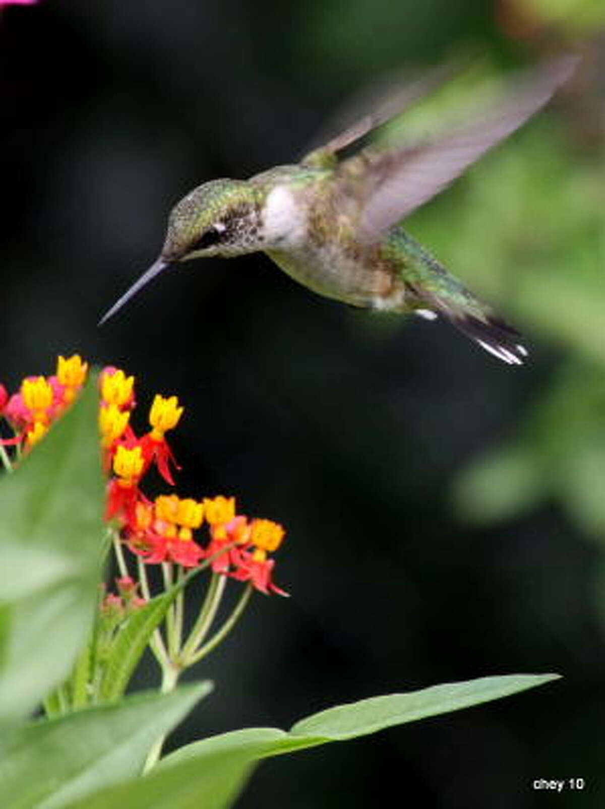 Hummingbird and milkweed. Lazy Gardener: How to keep 2009's multitude of hummingbirds in your yard | 10 nectar plants that hummingbirds love | More hummer photos | Hummingbirds in the archives | Submit your garden photos | Houston Plant Database | HoustonGrows.com