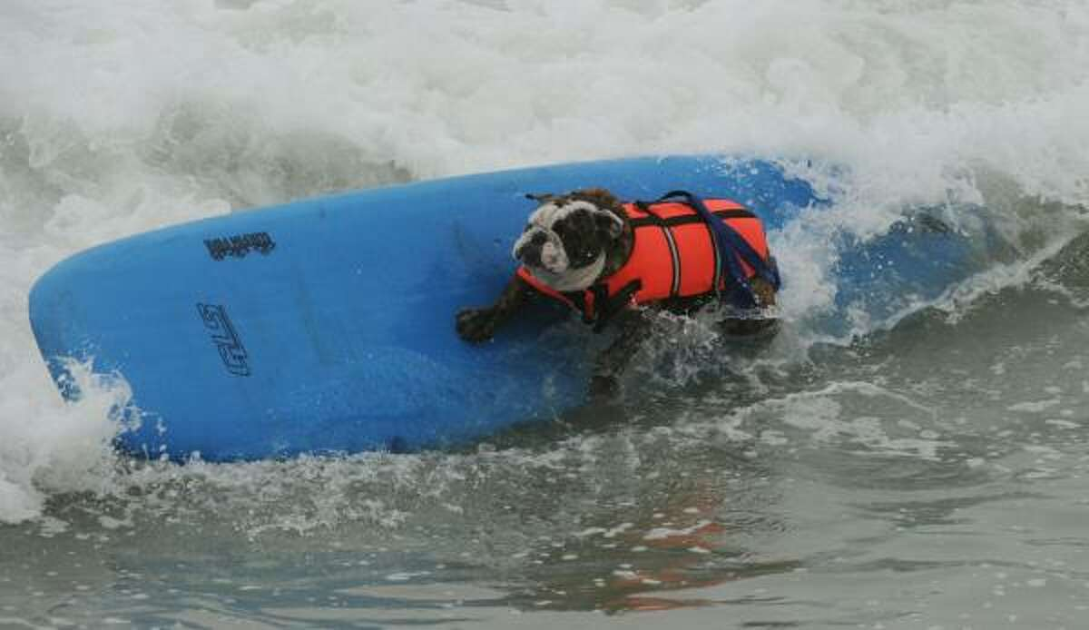 Hollywood does a cutback during the annual Surf City Surf Dog competition at Huntington Beach in California Sunday.