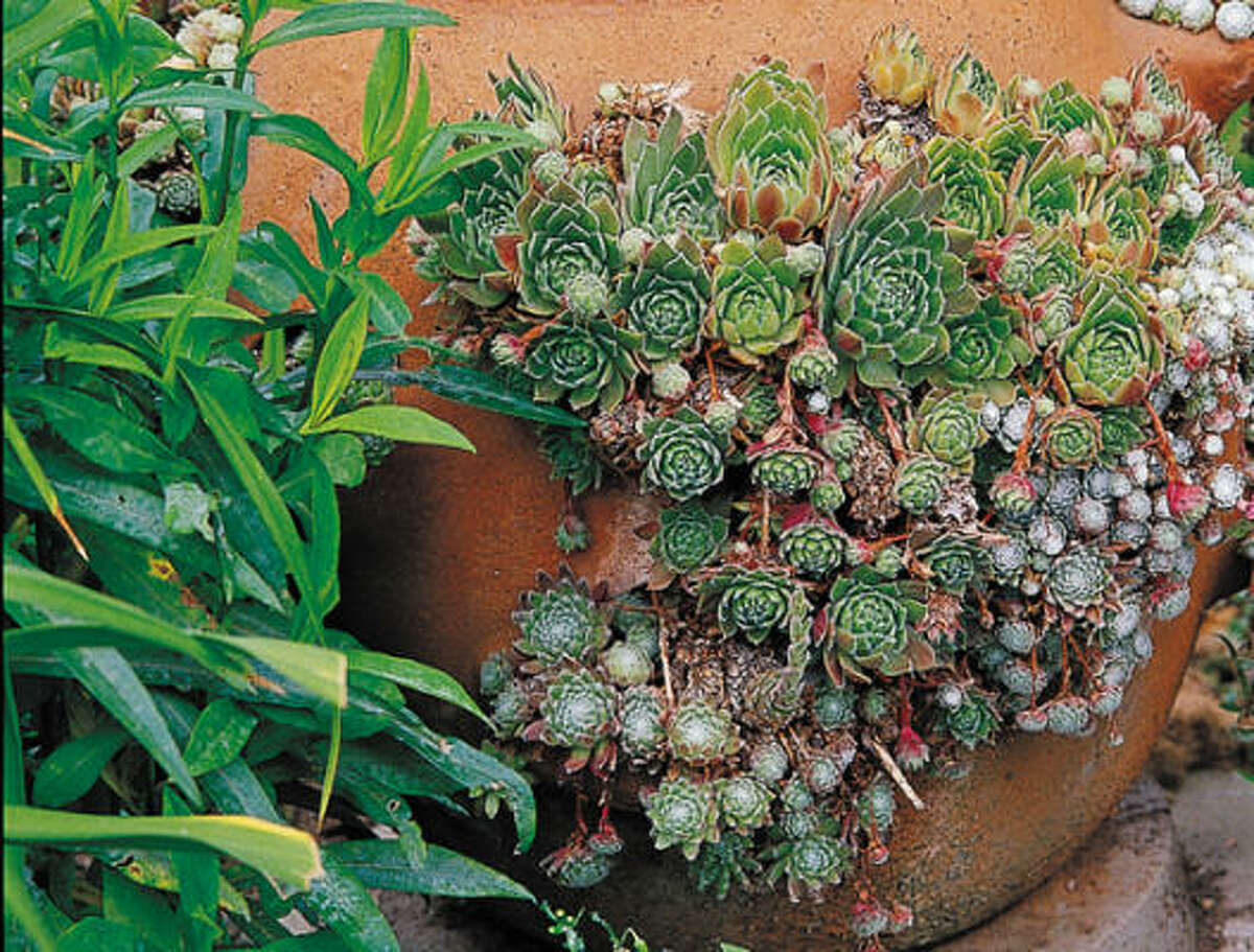 Detail of hen-and-chicks rosettes of sempervivums in a strawberry jar. More sensational succulents | Container gardens: Succulents go chic | More easy and elegant succulent containers | Spruce up succulents with beach glass | Search succulents in the Houston Plant Database | Submit your garden photos | HoustonGrows.com