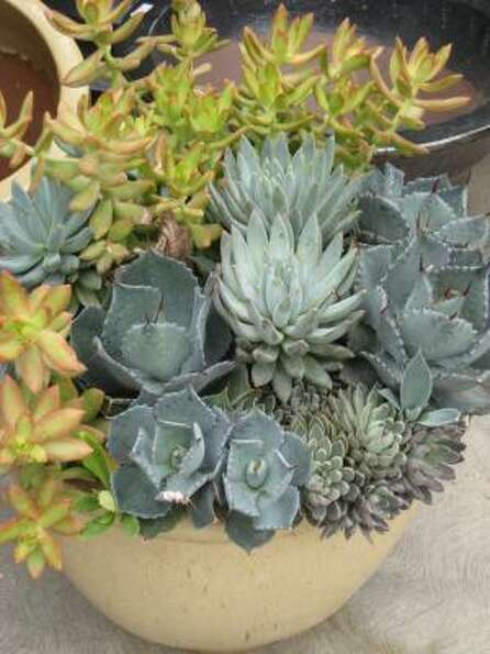 Small agaves echo the blue of echeverias and contrast with yellow Sedum adolphi, which in turn repea