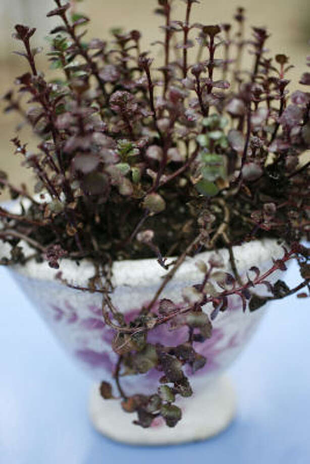 `Red Carpet' sedum echoes the rosy blooms on  a crackled glaze container.  Container gardens: Succulents go chic |  More easy and elegant succulent containers |  Spruce up succulents with beach glass  |  Search succulents in the Houston Plant Database |  Submit your garden   photos |  HoustonGrows.com Photo: Sharon Steinmann, Chronicle