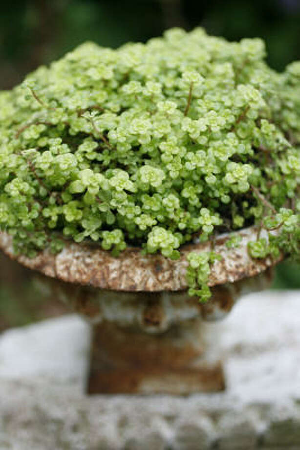 'Ogon' sedum  Container gardens: Succulents go chic |  More easy and elegant succulent containers |  Spruce up succulents with beach glass  |  Search succulents in the Houston Plant Database |  Submit your garden   photos |  HoustonGrows.com Photo: Sharon Steinmann, Chronicle