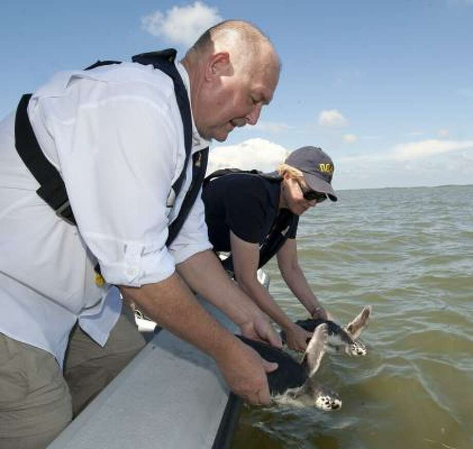 Admiral Thad Allen, ret. USCG, left, and Dr. Jane Lubchenko, right, head of the National Oceanic and Atmospheric Administration, release the first two of 23 rehabilitated Kemp's Ridley sea turtles in the Gulf of Mexico off of Gainesville, Fla., on Wednesday, Aug. 18, 2010. Twenty two of the turtles were found offshore from Destin, Fla., and Venice, La. and were moderately to heavily oiled. Photo: Phil Sandlin, AP