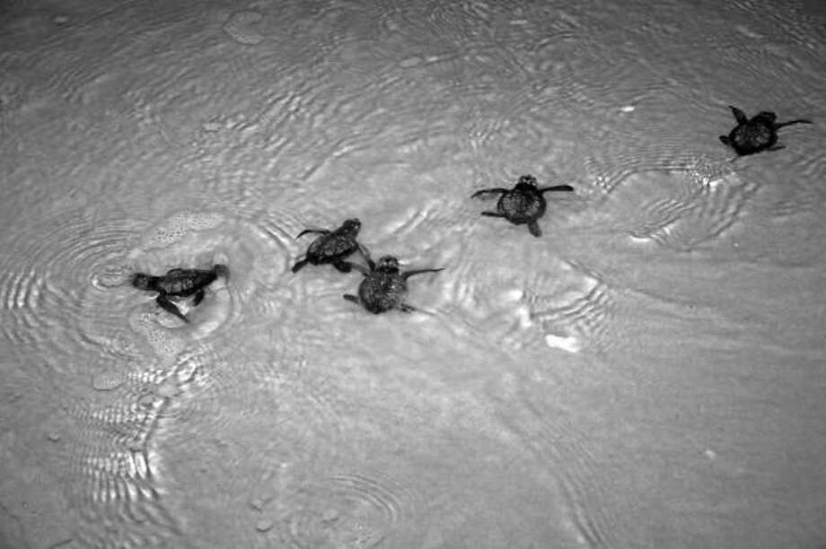 Hatchlings from endangered Kemp's Ridley sea turtle eggs brought from beaches along the Gulf Coast enter into the Atlantic Ocean off NASA's Kennedy Space Center in Cape Canaveral, Fla. on July 10, 2010. Photo: Kim Shifflett, AP/NASA