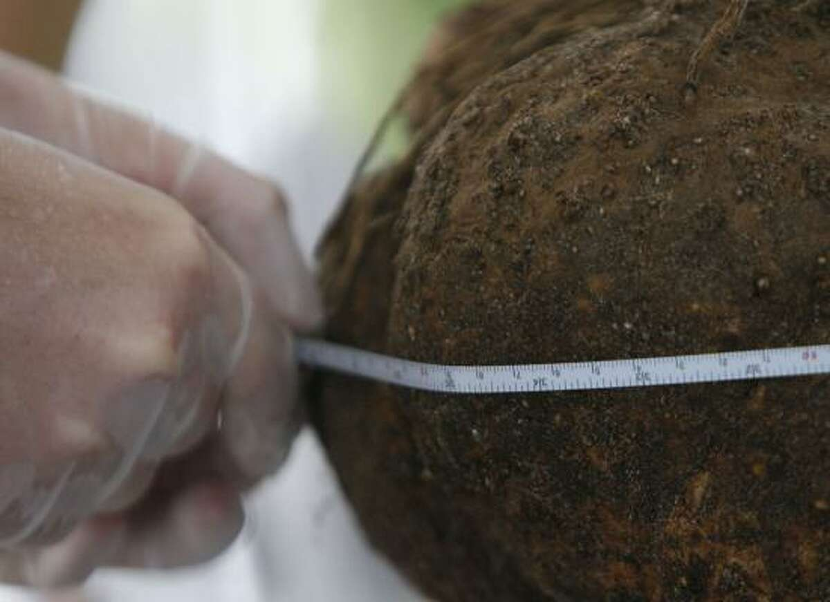 The tuber is measured before it is moved into its new pot.