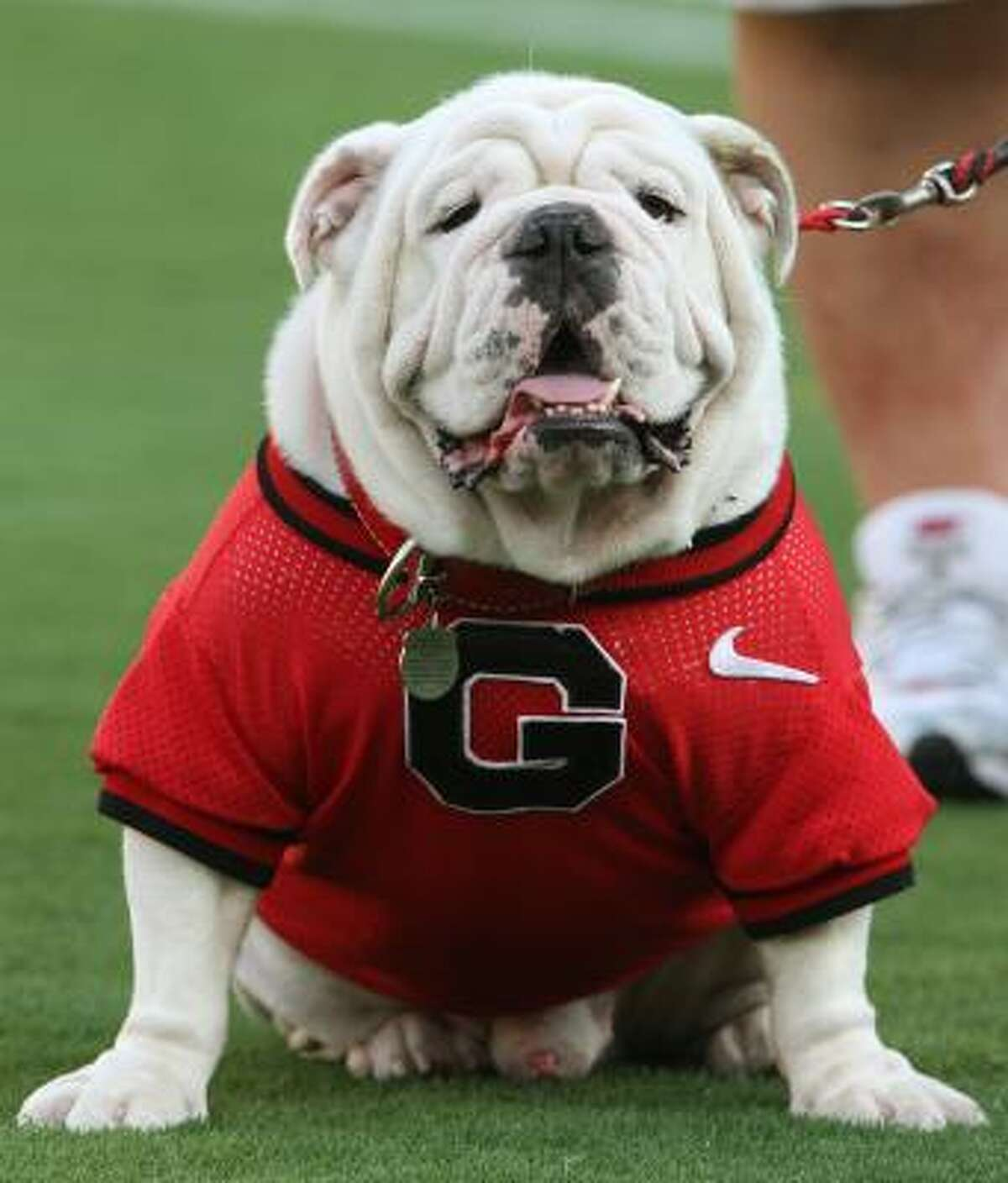 FILE - In this Sept. 20, 2008 file photo, Uga VII, the seventh English bulldog mascot for the University of Georgia team, who died last football season, keeps to the sidelines in Tempe, Ariz. (AP Photo/Ross D. Franklin, File)