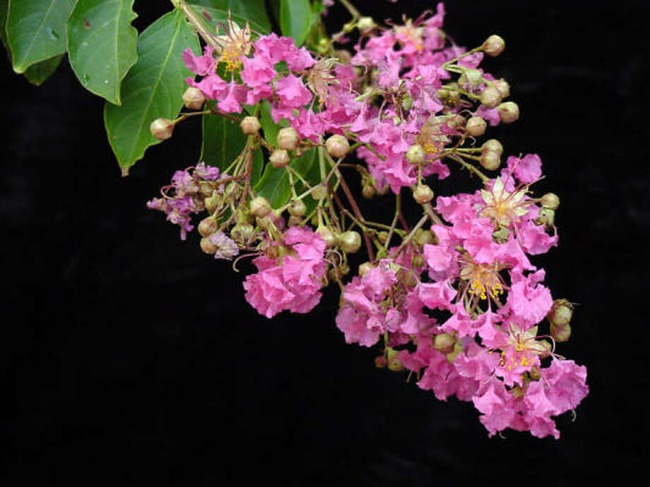 'Miami' crape myrtle Photo: Jerry Parsons, Texas A&M Crape Myrtles For Texas Website