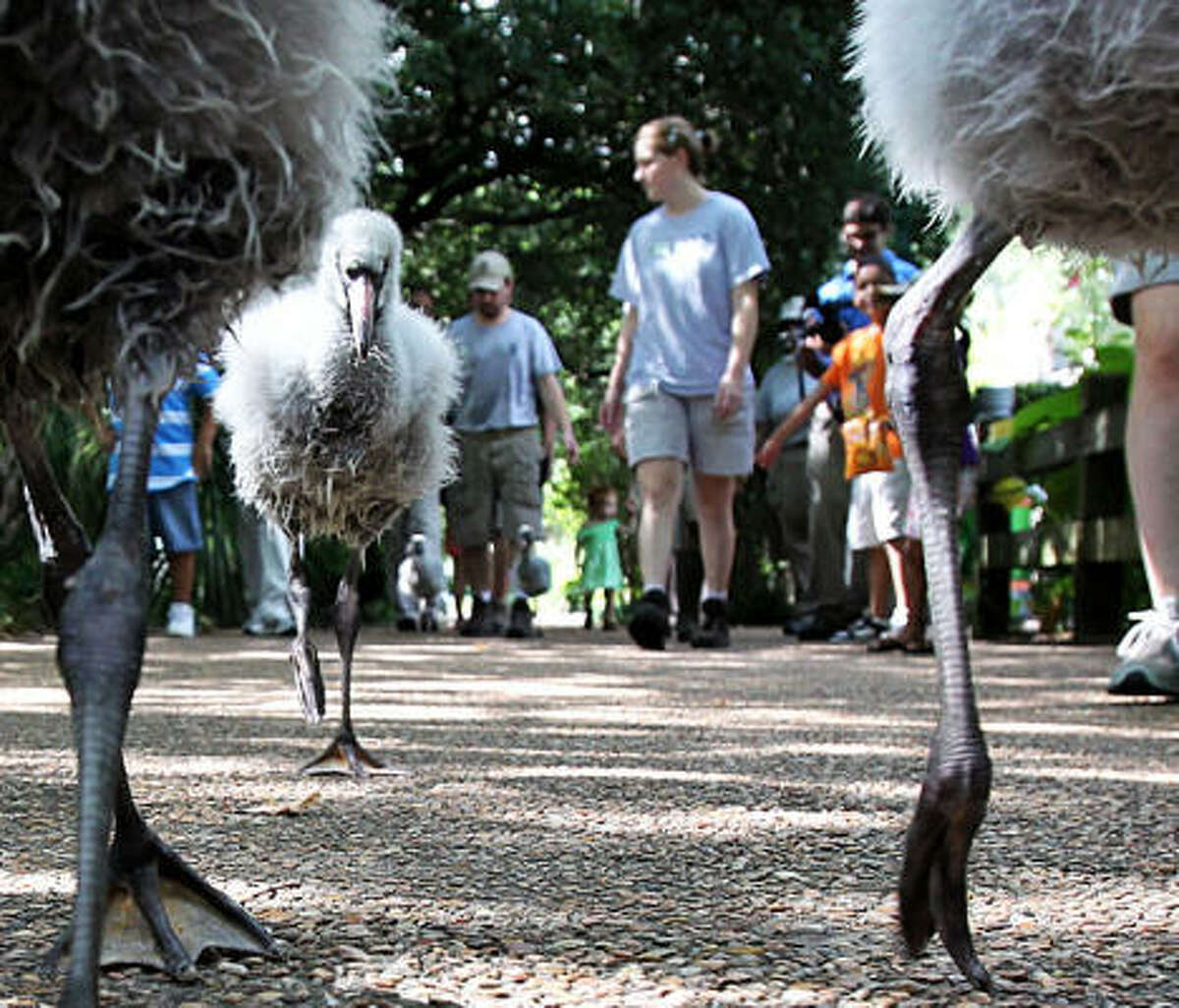 A group of Chilean flamingos walks to an exhibit at the Houston Zoo on Tuesday.
