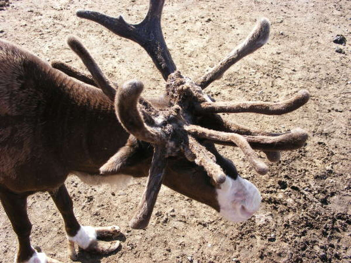 """Reindeer = caribou There are 20 extant subspecies of Rangifer tarandus. Here in North America we call them caribou, a Mi'kmaq word for """"snow shoveler."""" They live in northern climates around the globe."""