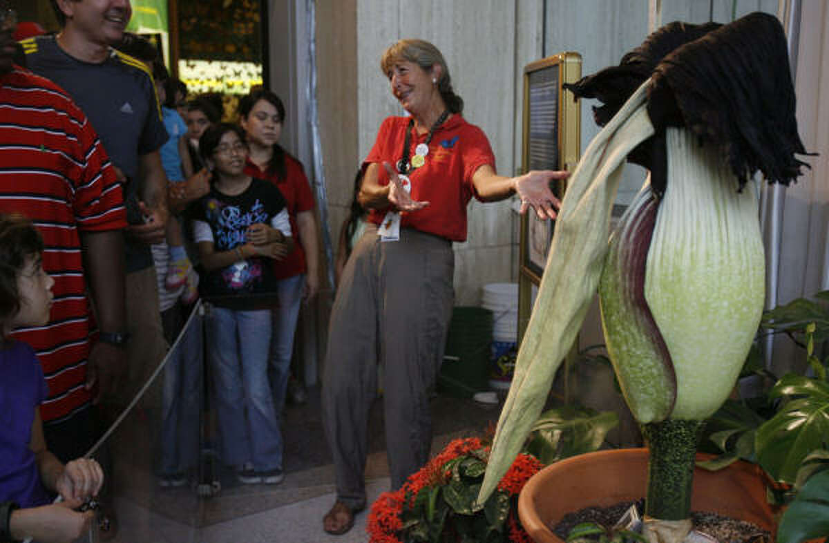 """JULY 25: """"Meet the corpse of our corpse flower,"""" Nancy Greig, director of the Cockrell Butterfly Center, tells the crowd viewing a limp Lois after its bloom at the Houston Museum of Natural Science."""
