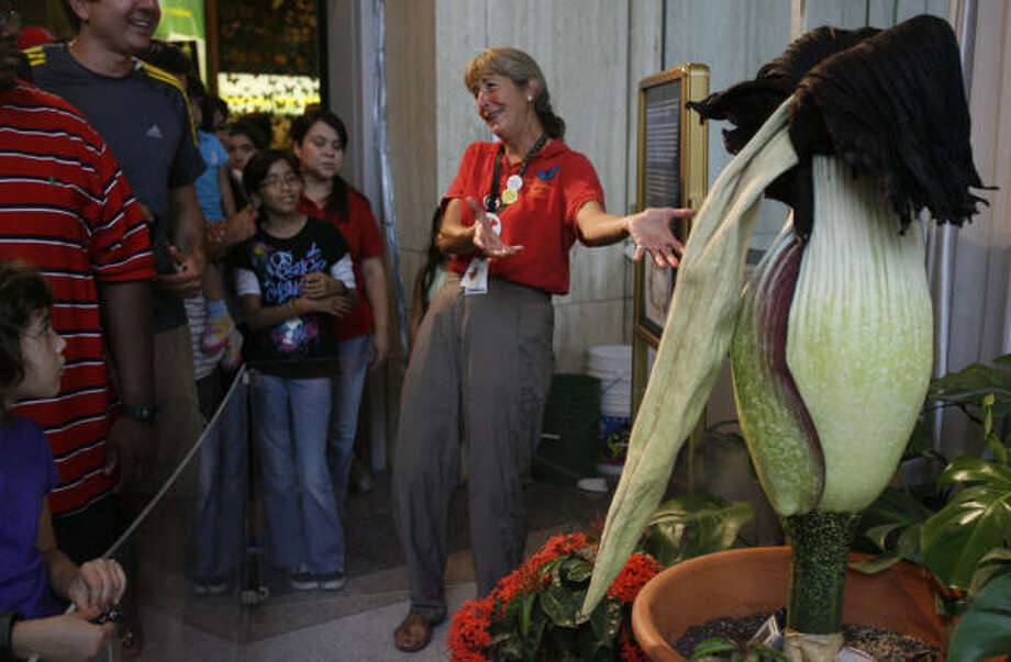 "JULY 25: ""Meet the corpse of our corpse flower,"" Nancy Greig, director of the Cockrell Butterfly Center, tells the crowd viewing a limp Lois after its bloom at the Houston Museum of Natural Science. Photo: Julio Cortez, Chronicle"