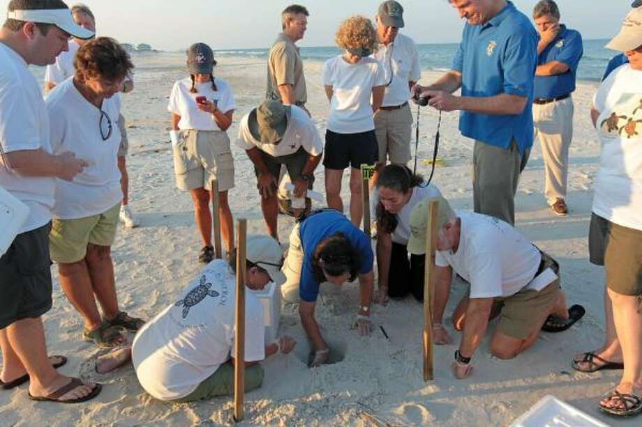 Researchers and biologists harvest sea turtle eggs from the sand in Port St. Joe, Fla.,  on Friday, July 9, 2010.  Wildlife authorities are relocating thousands of sea turtle eggs to the east coast of Florida, hoping to save them from oil leaking from BP's Macondo well in the Gulf of Mexico. Photo: Dave Martin, AP