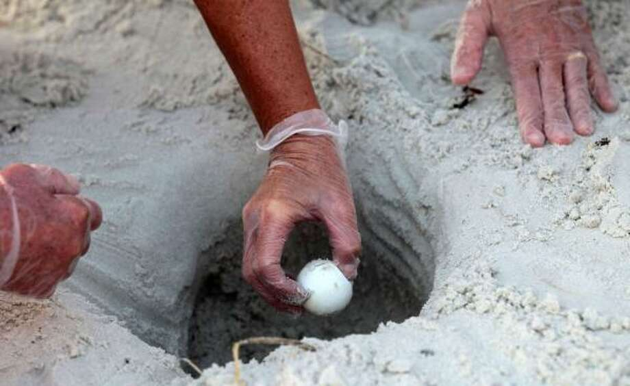 U.S. Fish and Wildlife biologist Lorna Patrick reaches into a sea turtle nest to harvest eggs from the sand in Port St. Joe, Fla., on Friday, July 9, 2010. Photo: Dave Martin, AP