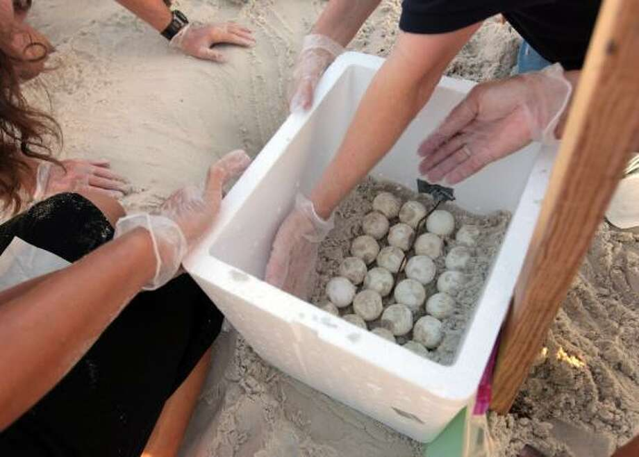 Scientists place sand around sea turtle eggs they placed in a cooler after harvesting them from the sand in Cape San Blas, Fla., on Friday, July 9, 2010. Photo: Dave Martin, AP
