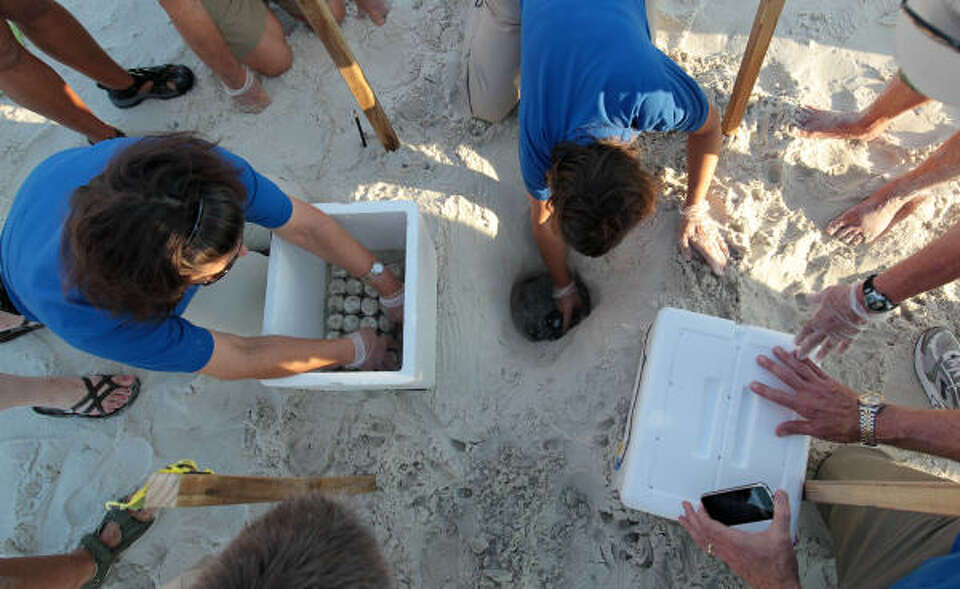 Researchers and biologists harvest sea turtle eggs from the sand in Port St. Joe, Fla., on Friday, J