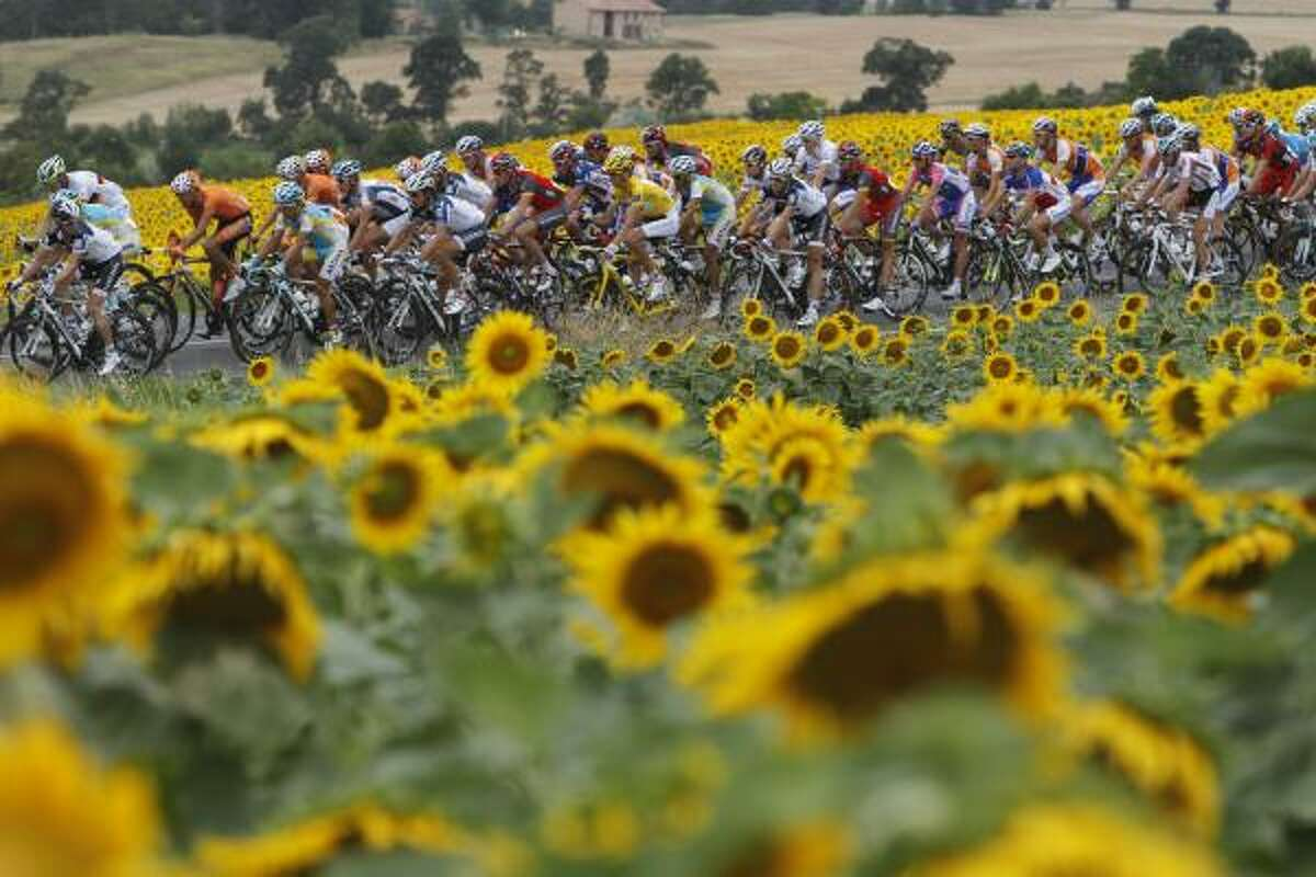 The pack passes fields of sunflowers during the 13th stage of the Tour de France.
