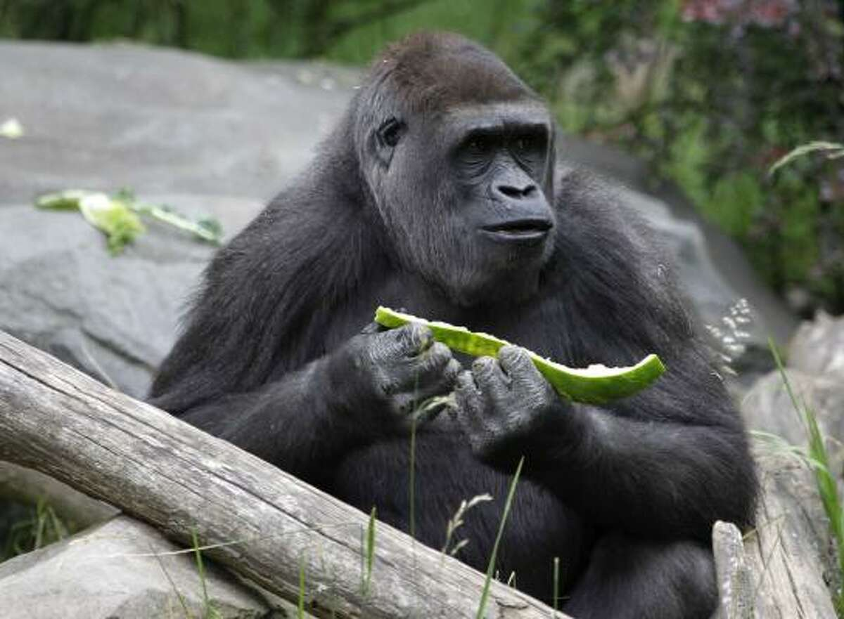 A gorilla at the Woodland Park Zoo in Seattle feasts on a watermelon.